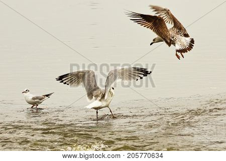 two caspian gulls fighting for fishing spot in shallow water ( Larus cachinnans ) adult bird and juvenile
