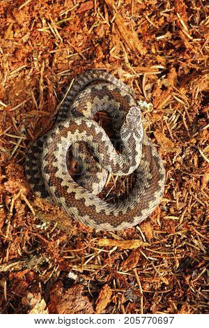 Vipera berus standing on forest ground the common european crossed adder venomous snake
