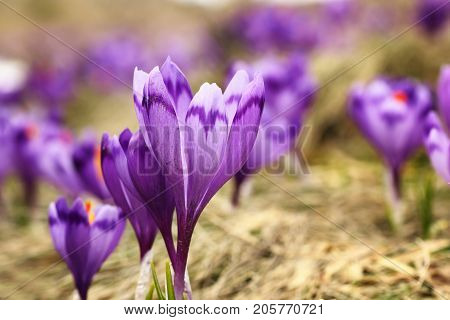 wild saffron growing on mountain meadow ( Crocus sativus )