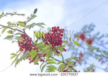 Large berries of red mountain ash ripened in autumn on the branches of a tree. Red ashberry