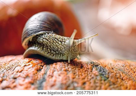 Big snail crawling on a beautiful embossed the pumpkin. Close-up. Copy space. Horizontal frame