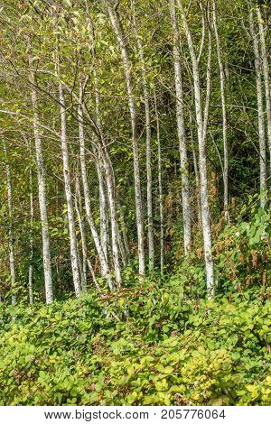 A view of Alder trees in the Pacific Northwest.