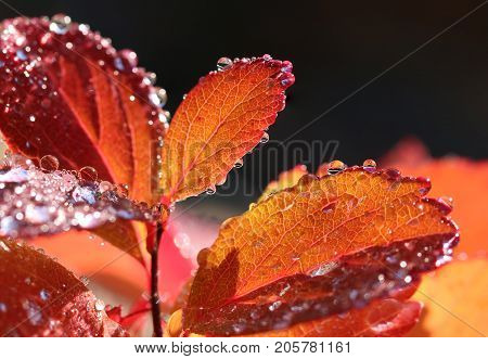 Colorful autumn leaves and water drops close-up