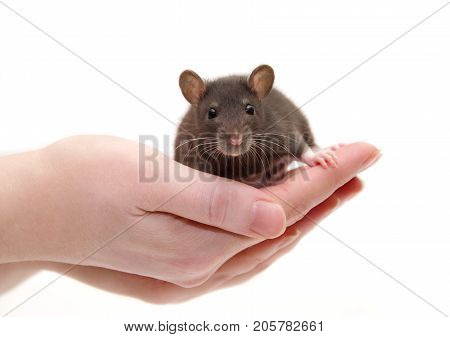 Cute black laboratory rat baby in human hands (isolated on white) selective focus on the rat eyes