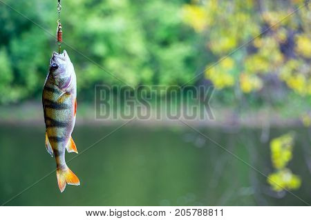 Perch caught in a spoon-bait. River perch on the hook