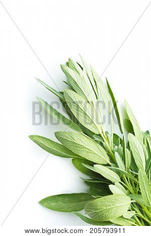 Salvia officinalis. Sage branch isolated on white background. Garden sage.