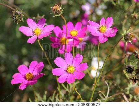 Pink flowers of garden cosmos plant (Cosmos bipinnatus) on green background