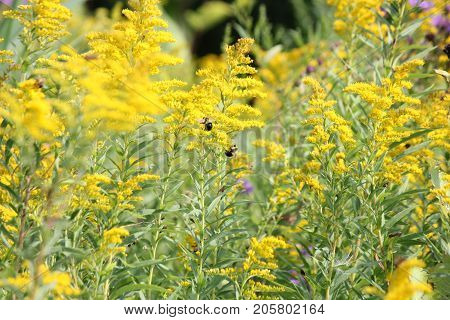 Field full of Canada goldenrod (Solidago Canadensis) with bees. Goldenrod  (Solidago) is a perennial plant that is well-known for its healing properties.