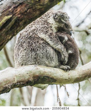 Female wild koala bear with a baby on gum tree during the rain