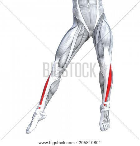 Concept conceptual 3D illustration fit strong front lower leg human anatomy, anatomical muscle isolated white background for body medical health tendon foot and biological gym fitness muscular system