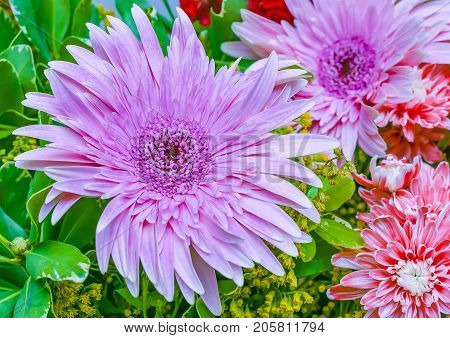 colorful pink daisy gerbera flowers botany flora