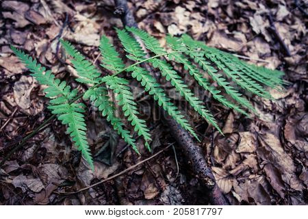 closeup of fern nonflowering vascular plant reproduce by spores outdoor in forest