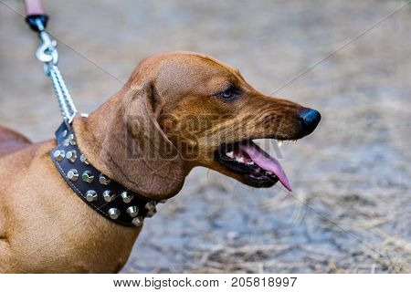 Portrait of angry aggressive dog red dachshund on the leash is barking.