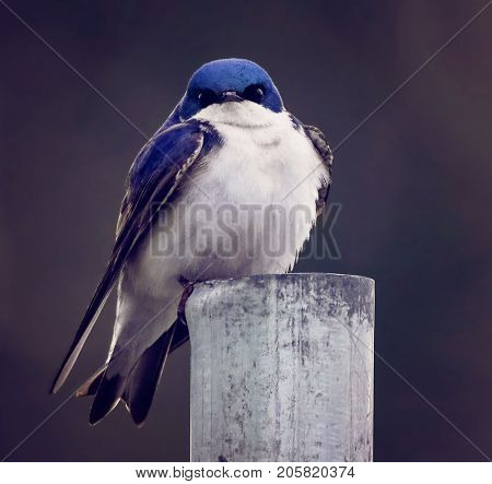an angry swallow sitting on a fence post toned with a retro vintage matte instagram filter to add to the mood of the bird