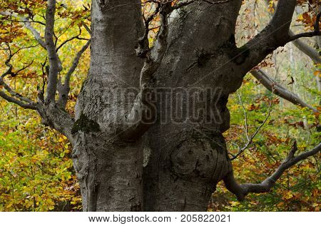Autumn in the beech forest. The trunk of a fairy stocky tree. Beauty in nature