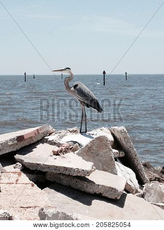 Blue Heron standing on concert rumble pile at gulf shores