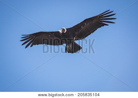 Condor flying over our heads in the sky