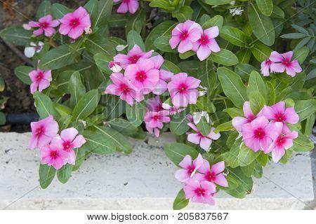 mirabilis flower; pink fragrant small cute ornamental plant.