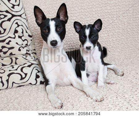 Black Basenji Puppy With Mother Black Basenji Dog