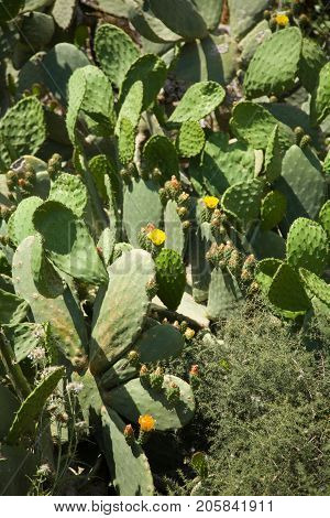 Cactus covered hillside, yellow flowers, dry ground, outdoors