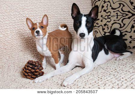 Red Basenji Puppy With Mother Black Basenji Dog