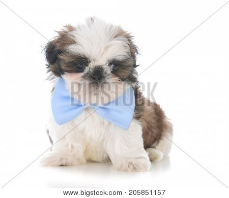 male shih tzu puppy wearing a blue bow tie on white background