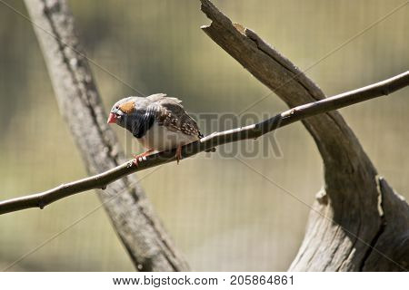 this is a close up of a zebra finch