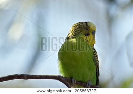 this is a close up of a parakeet