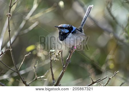the superb fairy-wren is perched on a bush