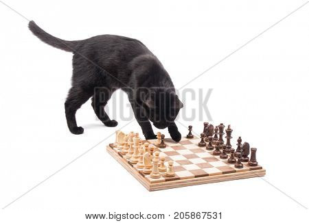 Black cat sniffing on pieces on a chessboard, about to knock them over, on white