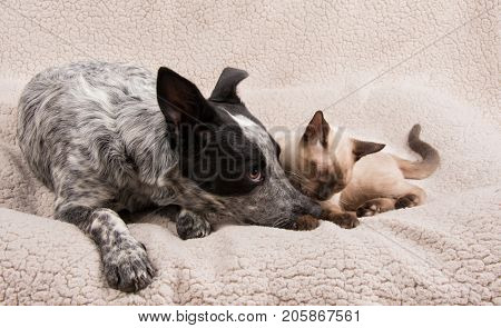 Tender moment between a young dog and cat lying next to each other