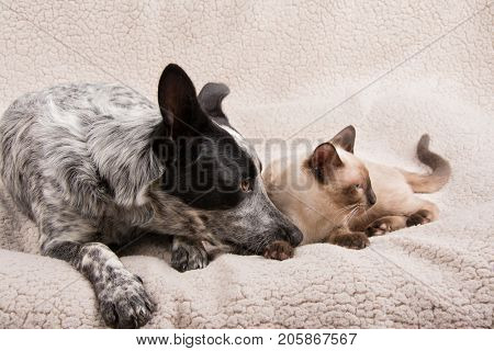 Puppy and kitten snuggled up lying down next to each other, looking to the right