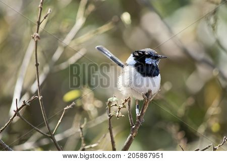 the Fairy-wren is perched on a bush