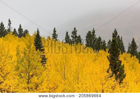 A grove on aspen trees create a sea of yellow which the tops of green conifer trees are peaking through with a background of grey fog.