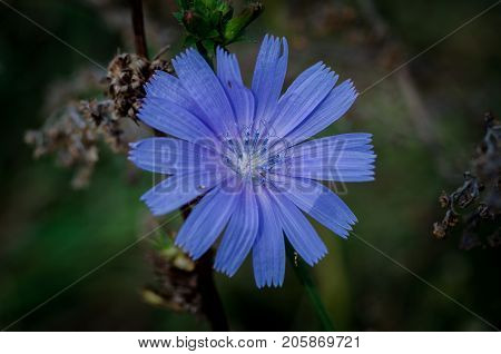 Flower of wild chicory. Medicinal plant. Herbal clock. Wild chicory
