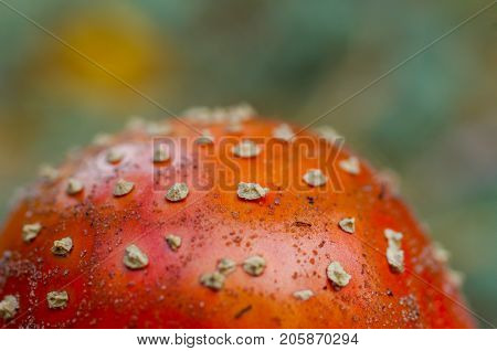 A cap of a fly agaric. Mushroom grebe - fly agaric. Texture, surface or background.