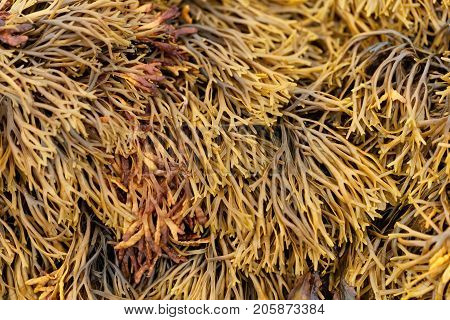 Channelled Wrack (pelvetia Canaliculata)