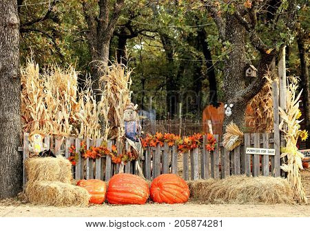 Entrance to a pumpkin patch with dried corn stalks, giant orange pumpkins, fall colored leaves, hay bales and scare crows, all along a weathered wooden fence with green trees in the background.