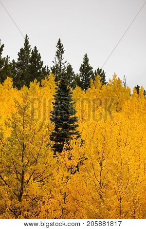 The top of a green conifer tree surrounded by a grove of golden aspen leaves in the Montana countryside with a low fog background.
