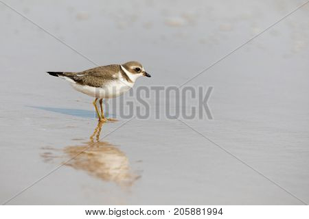 A semipalmated plover, Charadrius semipalmatus, foraging for food on the shoreline in Iles de la Madeleine, Canada. Space for your text.