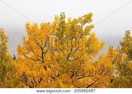 An aspen tree with intricate branches and golden leaves tipped with moisture on a foggy fall day in rural Montana.