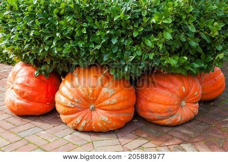 Four large pumpkin squash are cleverly placed under a hedge on a brick sidewalk to decorate for Thanksgiving.