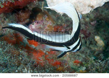 Spotted Drumfish