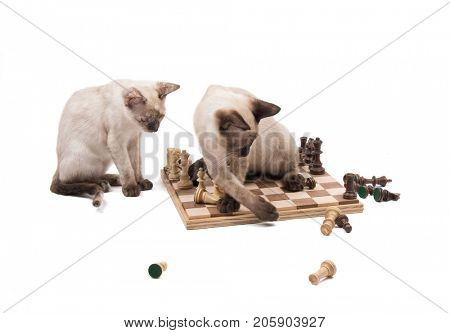Siamese kitten knocking chess pieces down while another one is watching, on white background