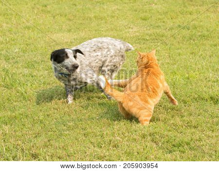 Ginger tabby cat chasing after a pushy spotted dog running by, defending his personal space