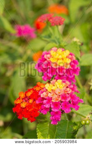 Bright Lantana flowers in fall garden