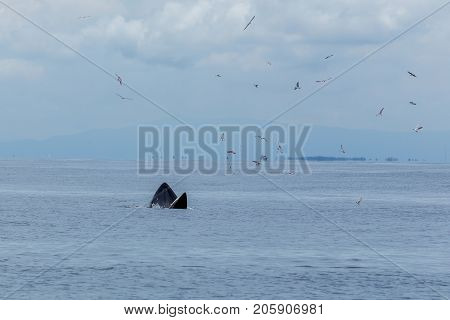 Bryde's Whale, Eden's Whale Feeding Small Fish, Whale In Gulf Of Thailand