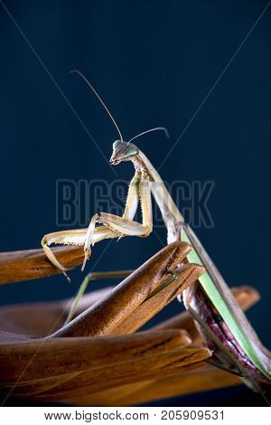 Macro detail of a Chinese mantis (Tenodera sinensis), a species of praying mantis native to Asia isolated on dark background
