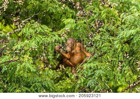 Wild Baby Orangutan Eating Red Berries In The Forest Of Borneo Malaysia