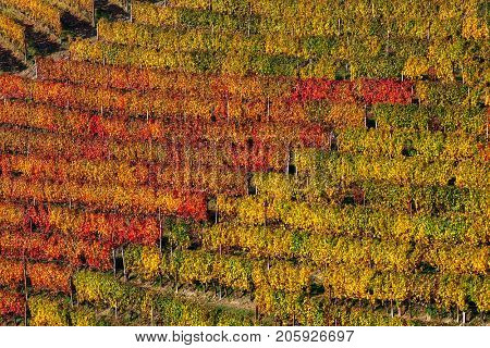 View of colorful rows of autumnal vineyards on the hill in Piedmont, Northern Italy.